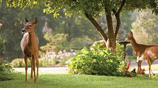 deer_in_your_yard