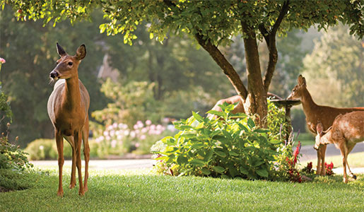 Dealing with Deer in Your Yard
